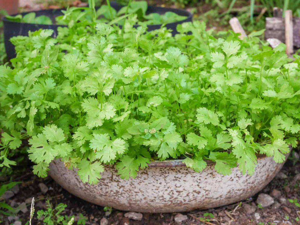 گیاهان خوراکی در آشپزخانه